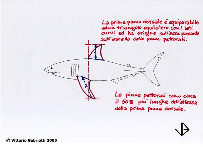 Grande Squalo Bianco Immagini Di Vittorio Gabriotti