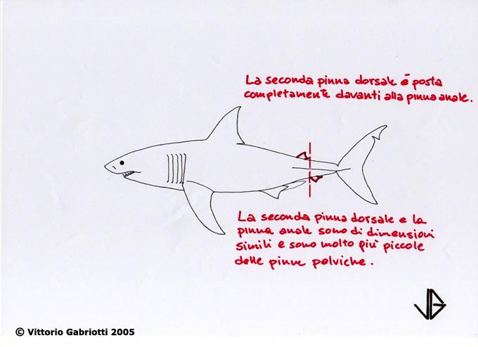 Grande squalo bianco immagini di vittorio gabriotti for Disegno squalo